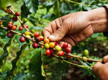 diferenças entre os cafés arábica e robusta
